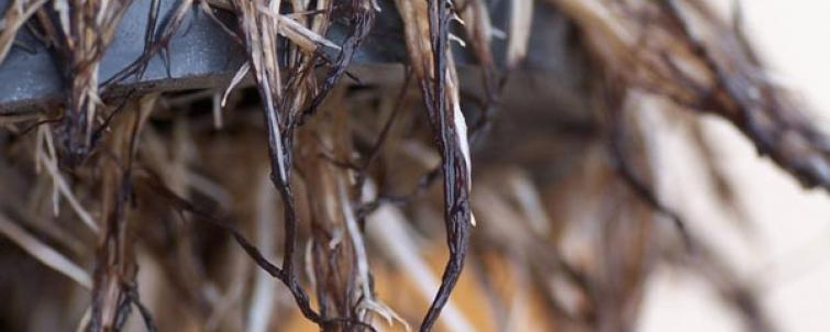 Got Rotting Roots? Pythium: An In-depth Analysis