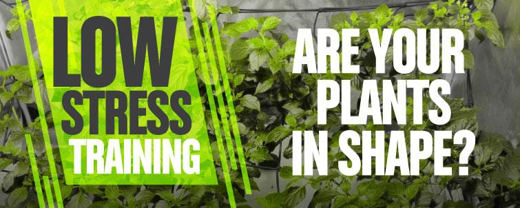 Low Stress Training: Are your Plants in Shape?