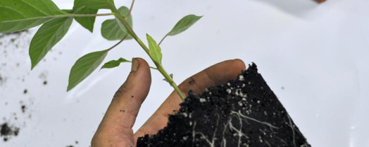 How to Transplant In Soil