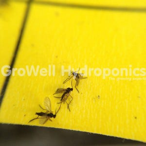 Close up of Adult Fungus Gnats