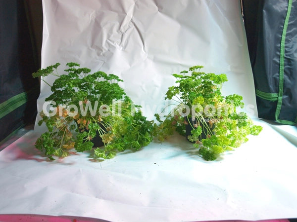 Parsley, Day 7